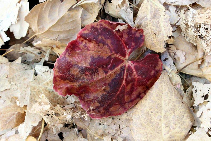 Einzelner Autumn Leaf stockfotos