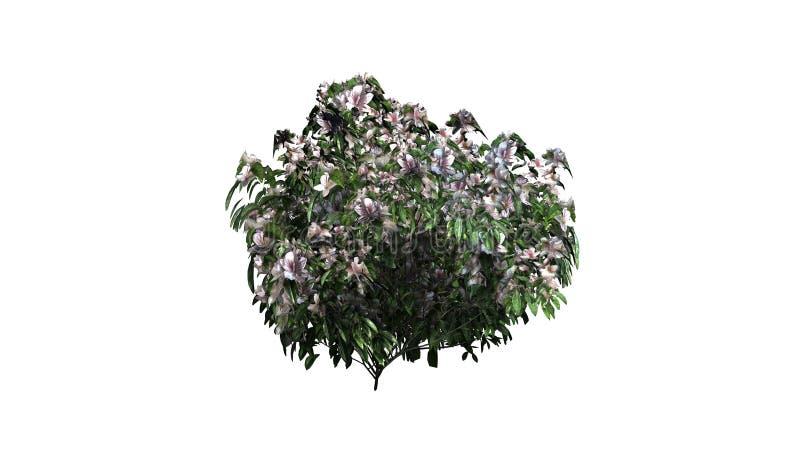 Einzelner Azaleenbusch mit Blüten stock abbildung