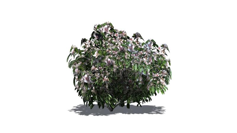 Einzelner Azaleenbusch mit Blüten vektor abbildung