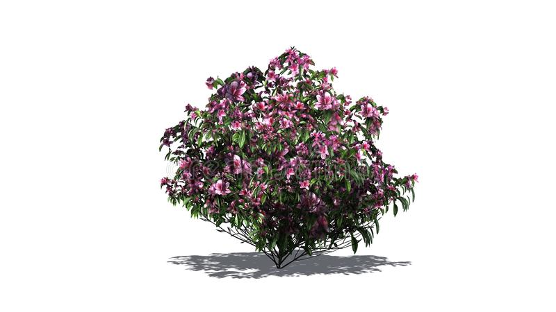 Einzelner Azaleenbusch mit rosa Blüten vektor abbildung