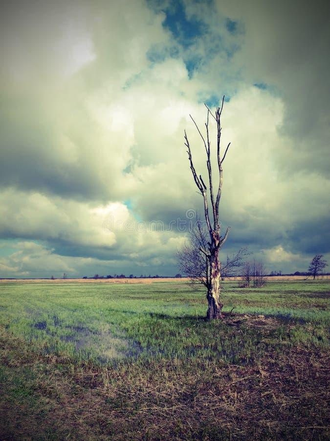 Einzelner Baum auf dem Gebiet, Litauen stockbild