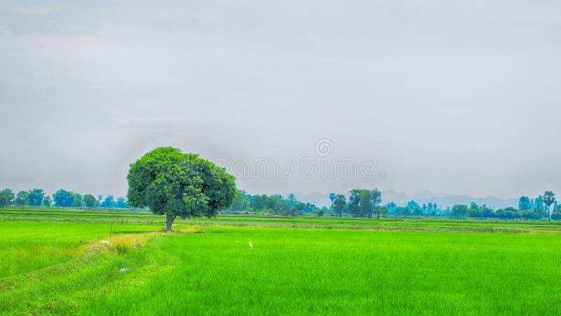 Einzelner Baum auf Reispflanze auf Landschaft, Thailand lizenzfreies stockbild