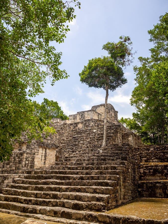 Einzelner Baum, der aus einem Mayatempel in Calakmul, Mexiko heraus wächst stockbilder