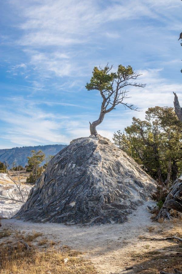 Einzelner Baum, der aus Travertin von einer heißen Quelle heraus wächst stockfotos