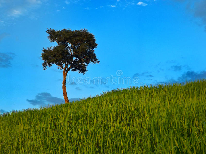 Einzelner Baum in ländlichem szenischem stockfotografie