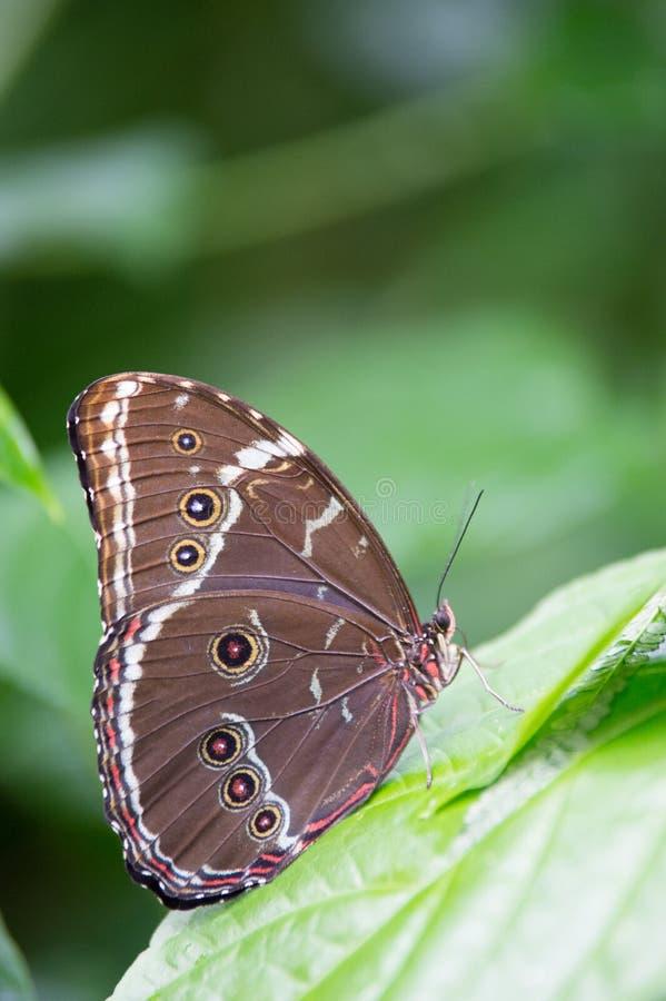einzelner brauner Schmetterling mit Kreisen auf einem farbigen Blatt lizenzfreies stockfoto