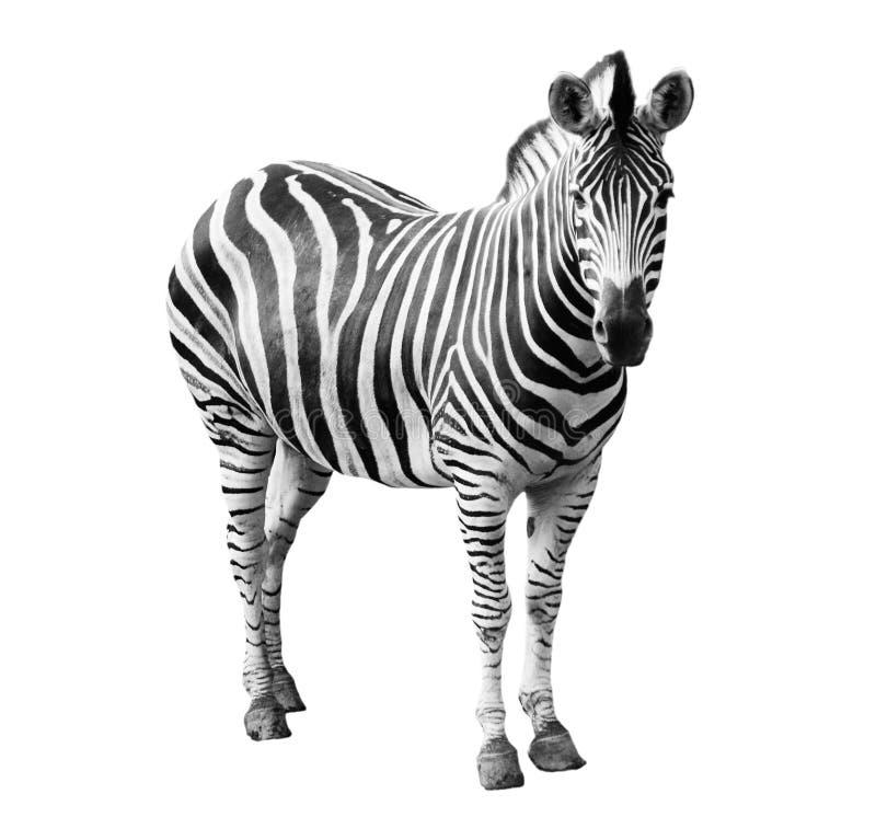 einzelner burchell Zebra stockfotografie