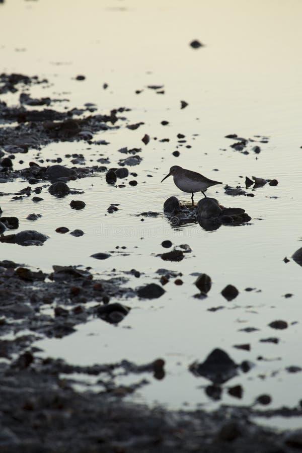 Einzelner Dunlin in einem Sumpf an Milford-Punkt, Connecticut stockfotos