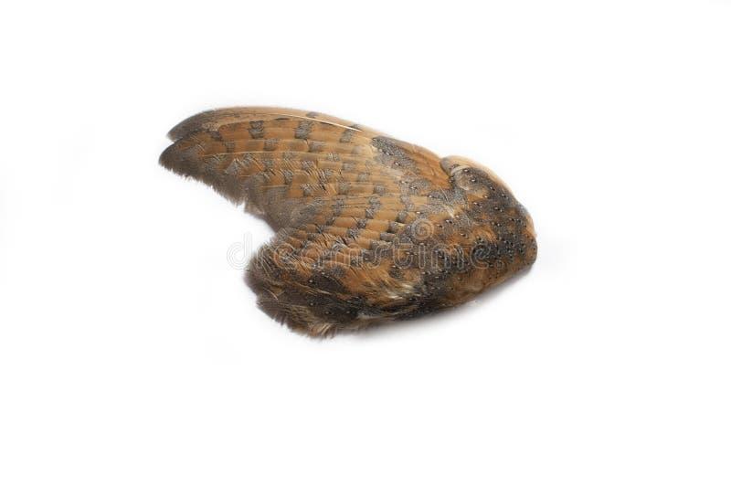 Einzelner Eulenflügel stockfoto