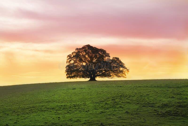Einzelner Feige-Baum alleine auf dem Gebiet lizenzfreie stockfotos