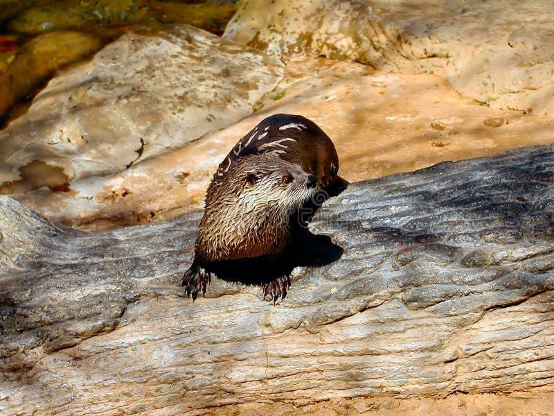 Einzelner Fluss-Otter lizenzfreie stockfotografie