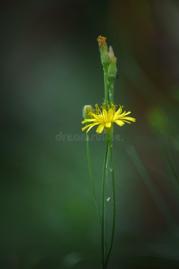 Einzelner gelber Wildflower auf dem Garten stockfotos