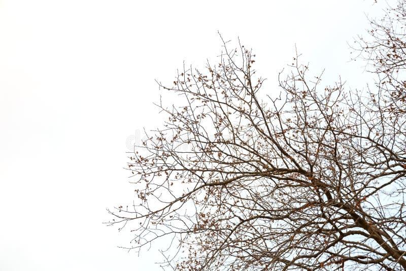 Einzelner großer Baum ohne Blätter lizenzfreie stockbilder