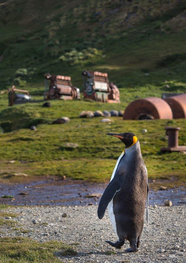 Einzelner Königpinguin, der auf Weg in Grytviken, Süd-Georgia geht stockbild