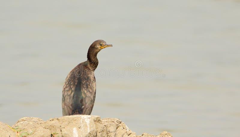 Einzelner Kormoranvogel stockbild