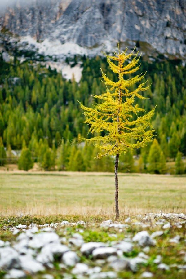 Einzelner Lärchenbaum in der gelben Herbstfarbe mit Waldhintergrund stockfoto