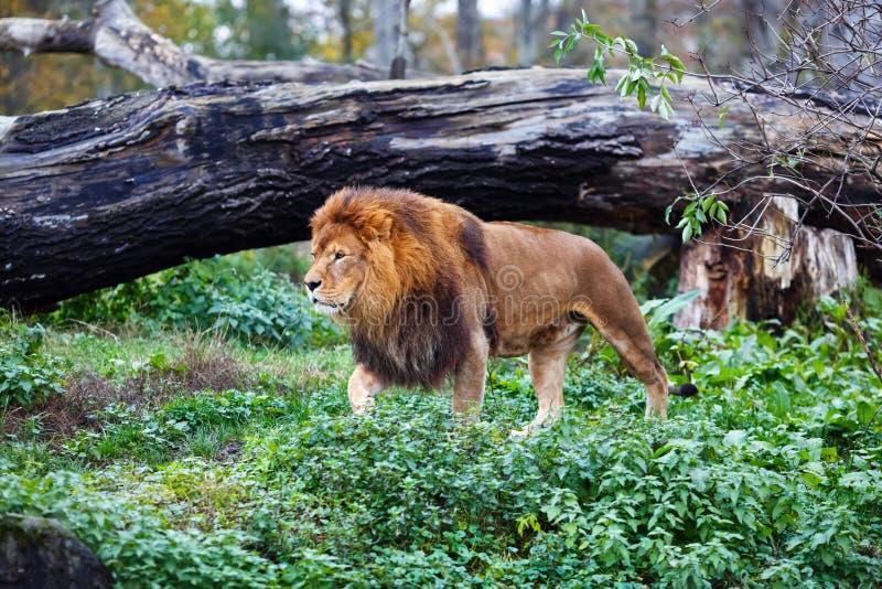 Einzelner Löwe geht lizenzfreies stockbild