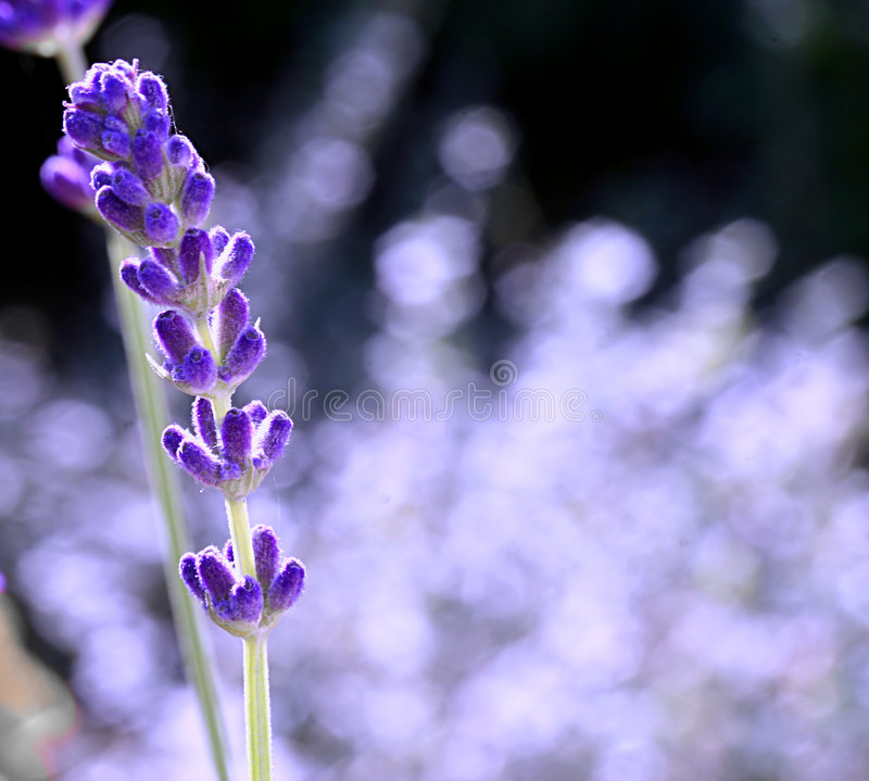 Einzelner Lavendel lizenzfreie stockfotos