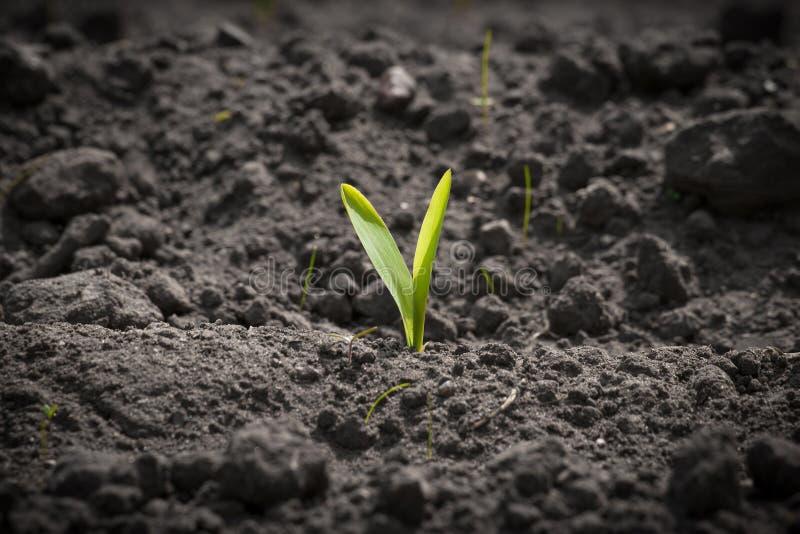 Einzelner Maissprössling auf einem Feld stockbild
