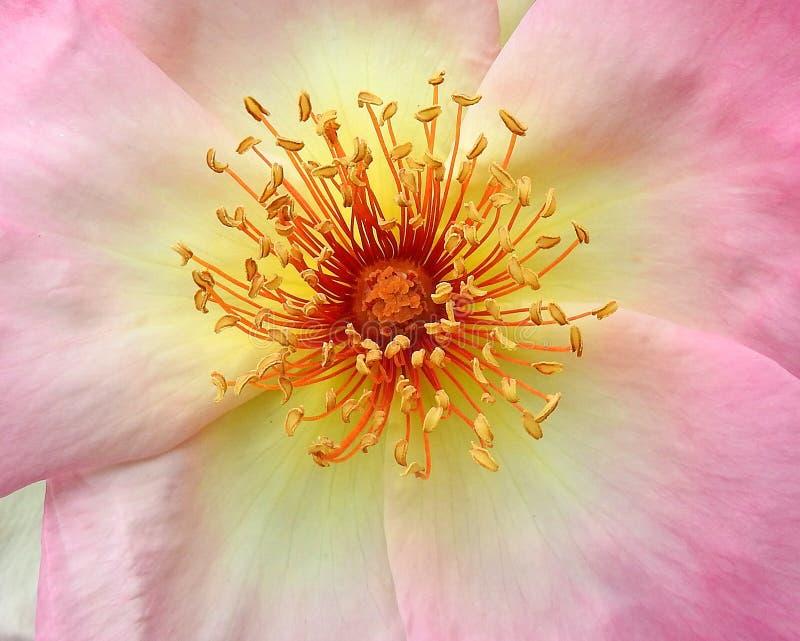 Einzelner rosafarbener Kopf des h?bschen Rosas mit Staubgef?ssmakronahaufnahme-Blumenanlagen stockbild