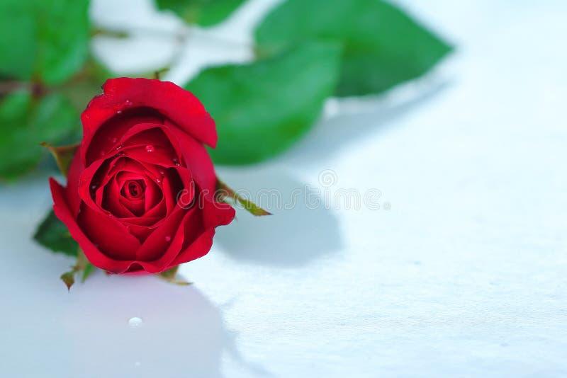Einzelner rosafarbener roter valantine Tag lizenzfreie stockfotografie