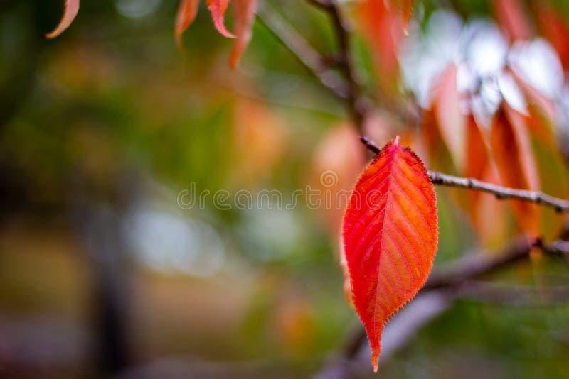 Einzelner roter Autumn Fall Leaves mit einem selektiven Fokus in Adelai stockfoto