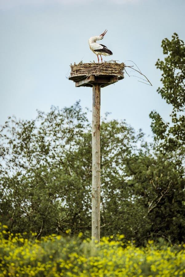 Einzelner Storch steht auf seinem Nest und dehnt seinen Hals rückwärts in Anzeige aus stockfoto