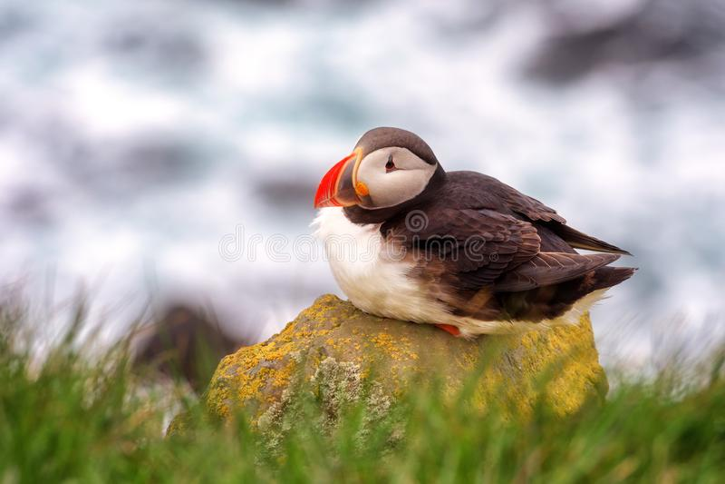 Einzelner Vogel des atlantischen Papageientauchers auf dem Stein gegen den Ozeanhintergrund, Tiere im wilden lizenzfreie stockfotos