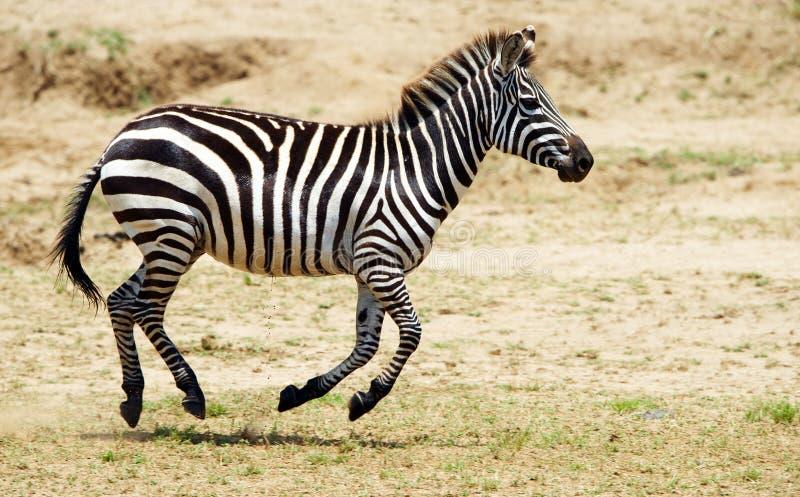 Einzelner Zebra (afrikanisches Equid) stockbilder