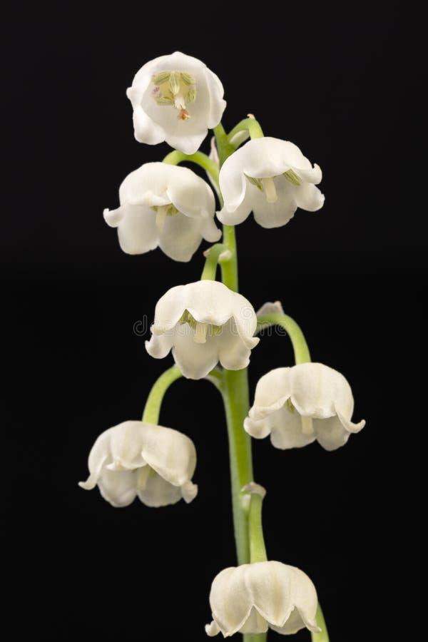 Einzelner Zweig von den Frühlingsblumen des Maiglöckchens lokalisiert auf schwarzem Hintergrund stockbild