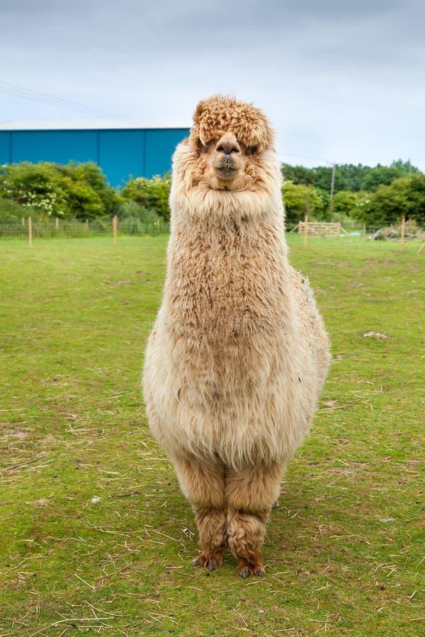 Einzelnes Alpaka, das sein starkes Vlies zeigt stockfoto