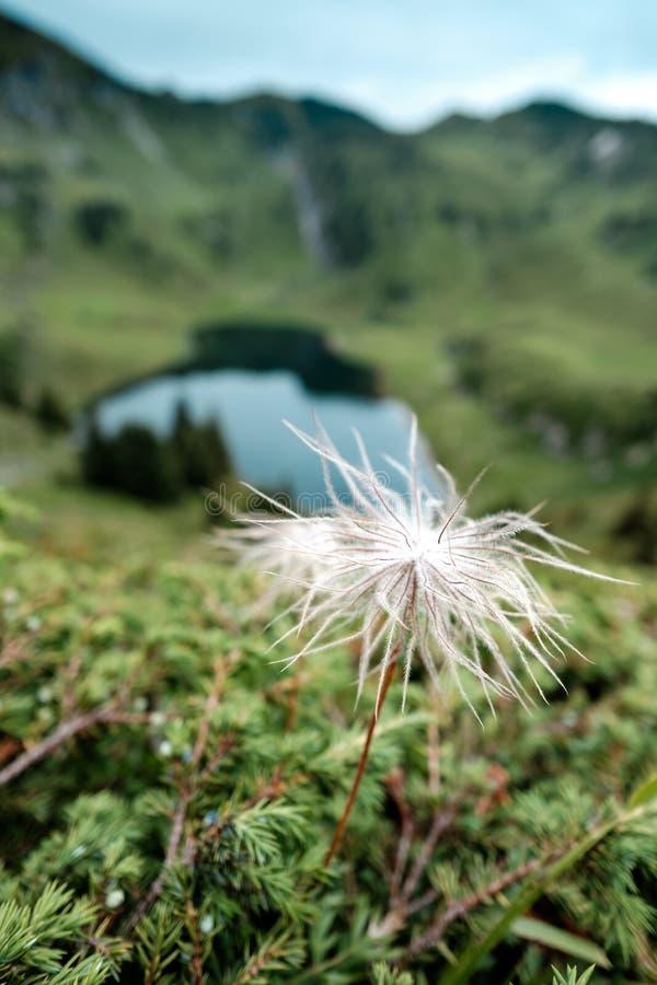 Einzelnes blühendes weißes Pasqueblume Pulsatilla alpina mit lizenzfreies stockbild