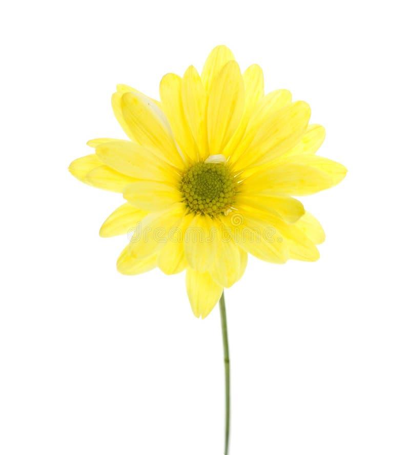 Einzelnes gelbes Shasta Gänseblümchen stockfotos