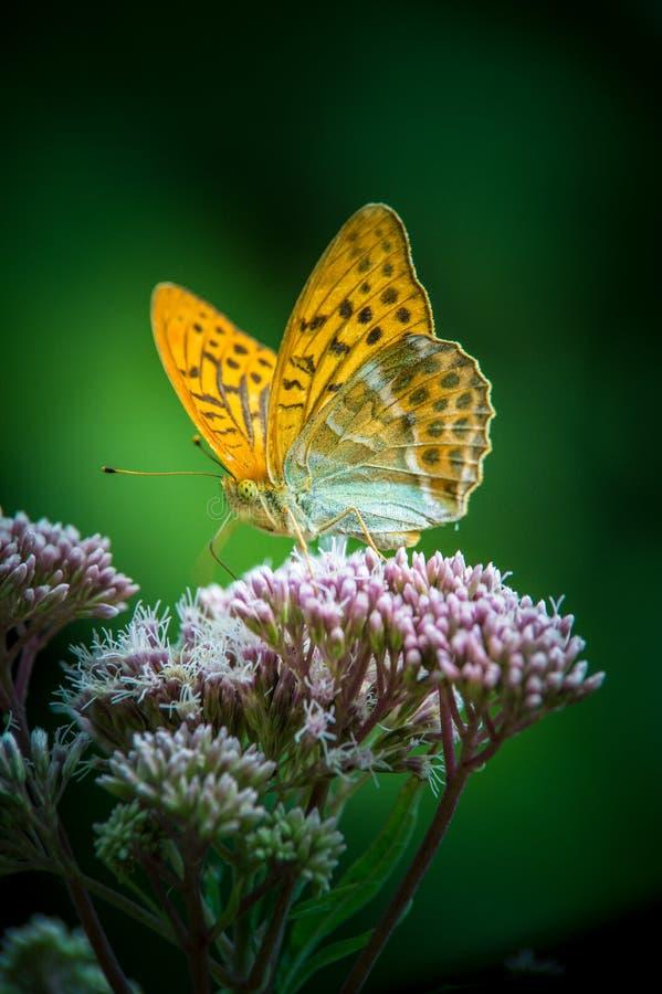 Einzelnes großes perliges Schmetterlings-Braun des Insekts orange butine eine Blume lizenzfreie stockfotografie