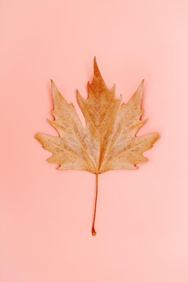 Einzelnes Herbstblatt auf einem einfachen korallenroten Pastellhintergrund lizenzfreies stockbild