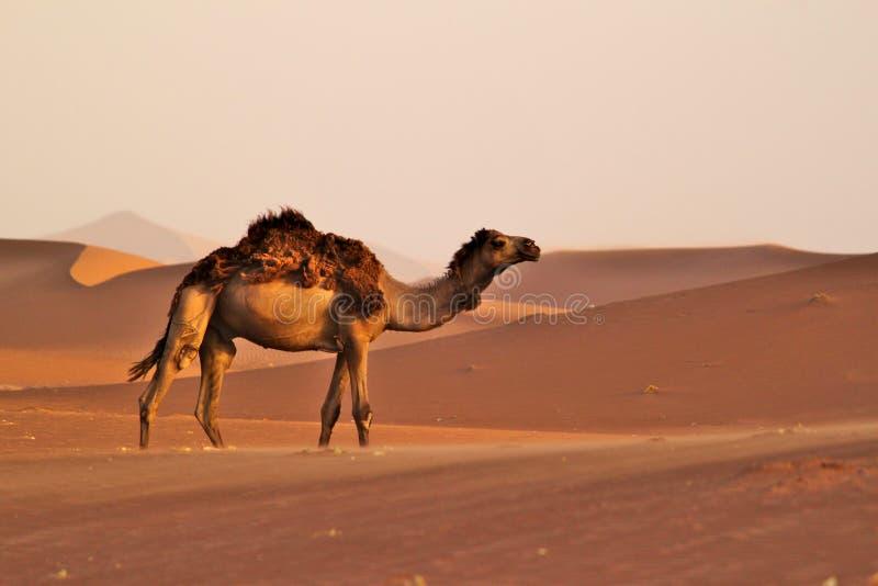 Einzelnes Kamel, das auf Dünen auf einer Wüste geht stockfotos