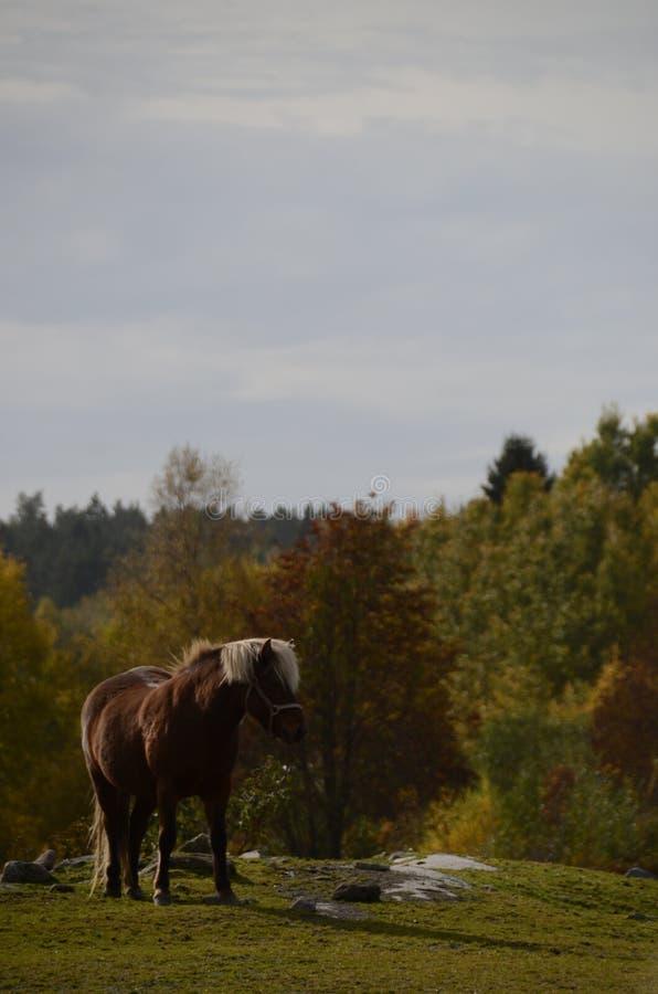 Einzelnes Pferd in den steinigen Feld- und Fallfarben im Hintergrundwald lizenzfreie stockfotos