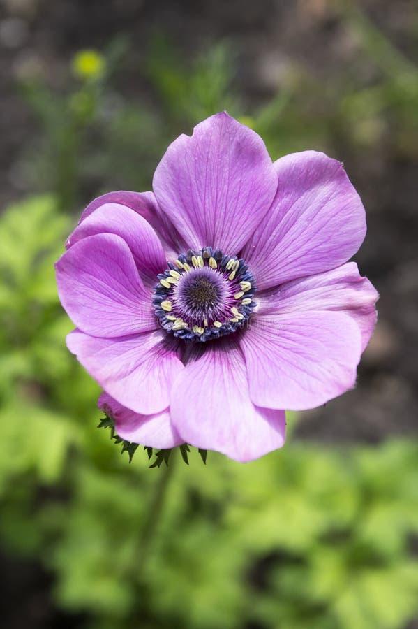 Einzelnes purpurrotes dekoratives Anemone coronaria De Caen in der Blüte lizenzfreies stockfoto