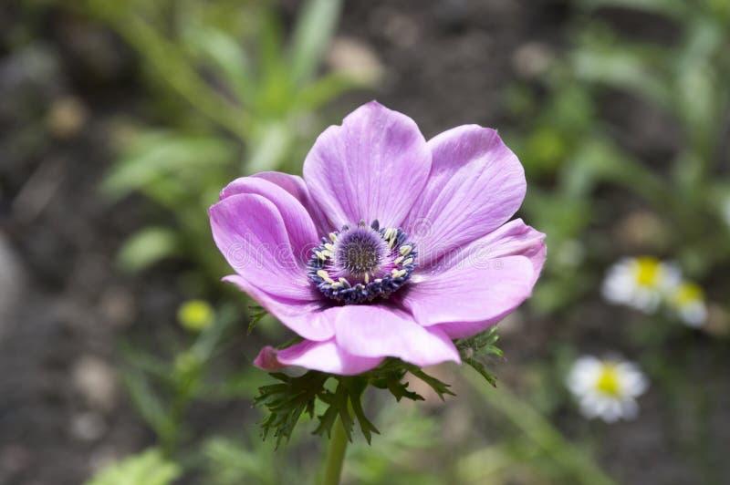 Einzelnes purpurrotes dekoratives Anemone coronaria De Caen in der Blüte lizenzfreie stockfotos