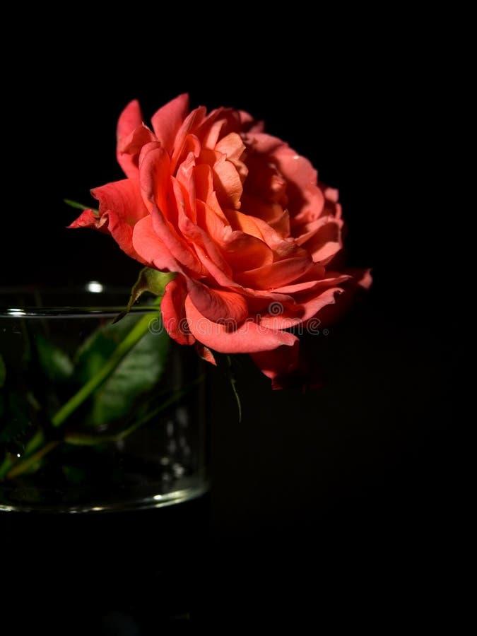 Einzelnes Rot stieg in Vase stockfotografie