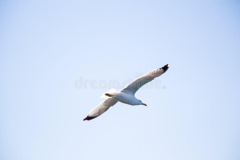Einzelnes Seemöwenfliegen in einem Himmel lizenzfreie stockfotografie