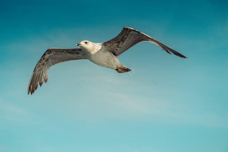 Einzelnes Seem?wenfliegen in einem bew?lkten Himmel lizenzfreie stockfotos