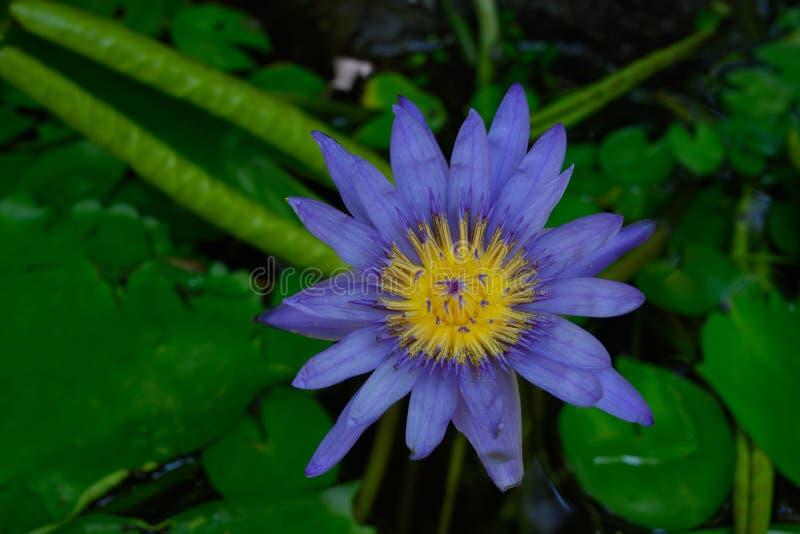 Einzelnes Wasser lilly in der Blüte stockfoto