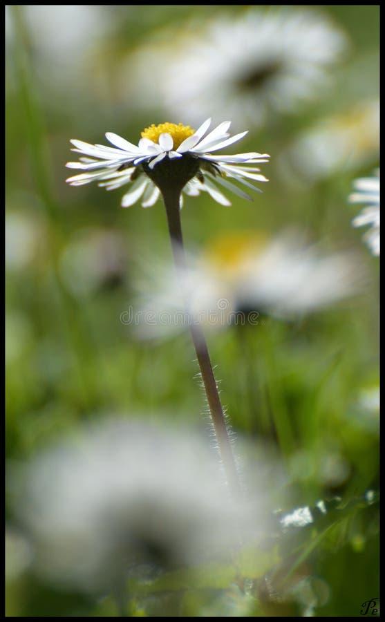 Einzigartige Daisy Flower lizenzfreie stockfotografie
