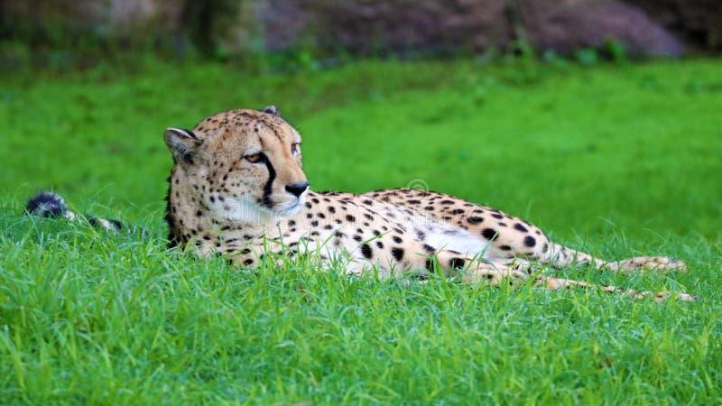 Einzigartiger Gepard in einem Hügel des grünen Grases, hochauflösendes Foto dieses wunderbaren Säugetieres in Südafrika stockbild