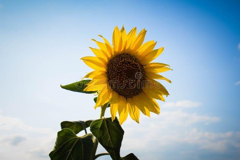 Einzige gelbe Sonnenblume der Nahaufnahme gegen blauen Himmel stockfotos