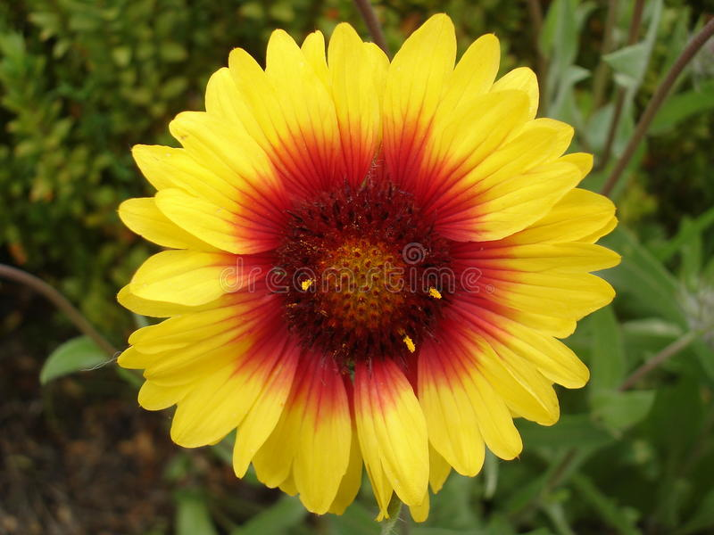 Einzige gelbe und rote Gaillardiablume stockbilder
