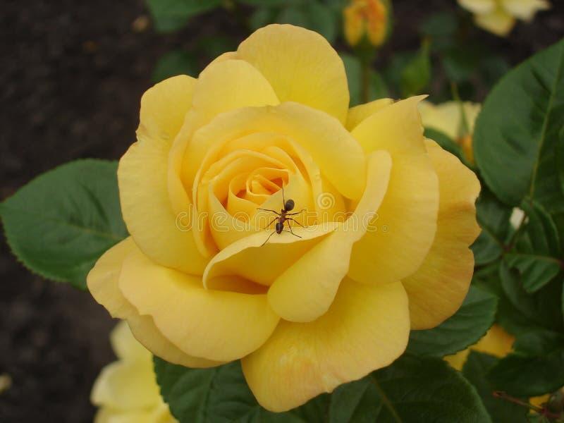 Einzige Gelbrosenblume 'Ilios' mit Ameise stockfoto