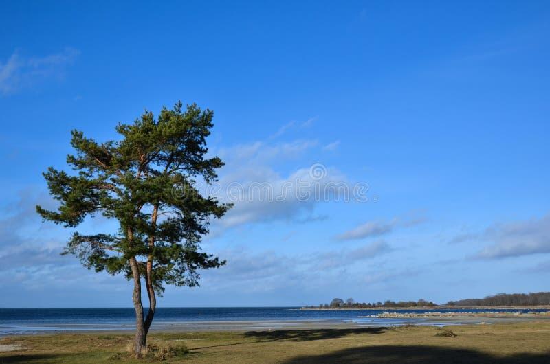 Einzige Küstenkiefer lizenzfreie stockfotografie