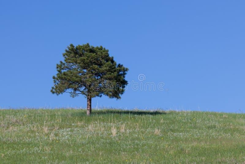Einzige Kiefer auf einem Hügel stockfotos
